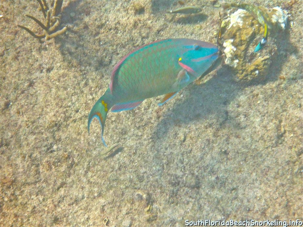 Corky_Reef_SouthFloridaBeachSnorkeling.info-04.jpg