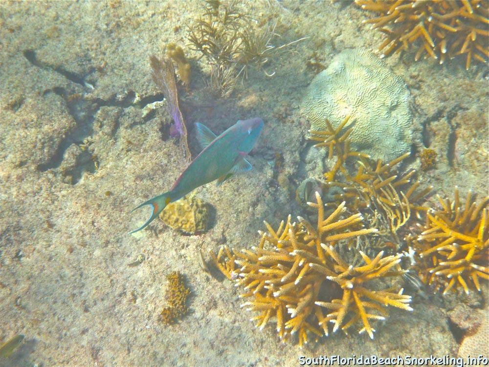 Corky_Reef_SouthFloridaBeachSnorkeling.info-05.jpg