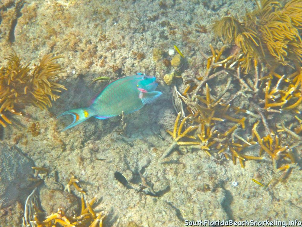 Corky_Reef_SouthFloridaBeachSnorkeling.info-07.jpg