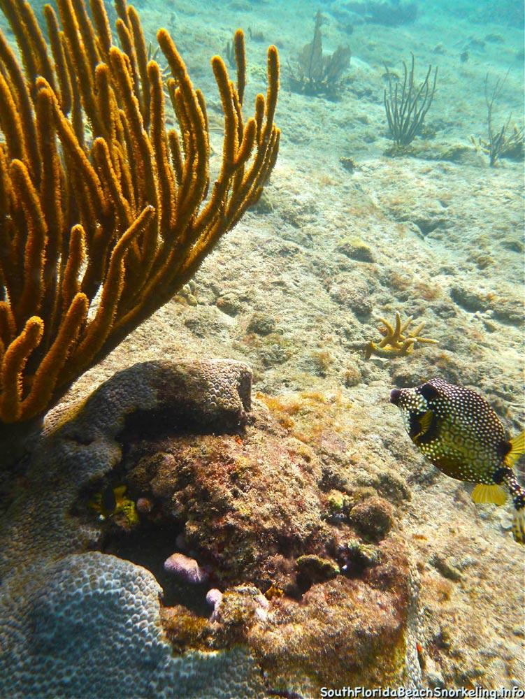 Corky_Reef_SouthFloridaBeachSnorkeling.info-16.jpg